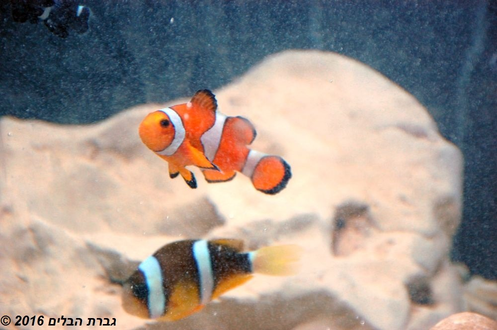 דגי שושנון