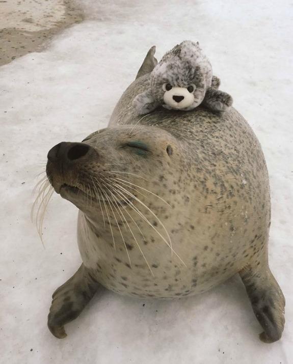 כלב ים גדול