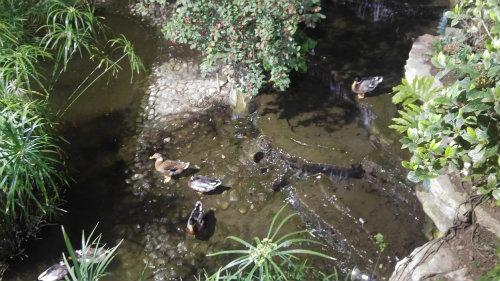בריכת הדגים שאימצה לחיקה משפחת ברווזים