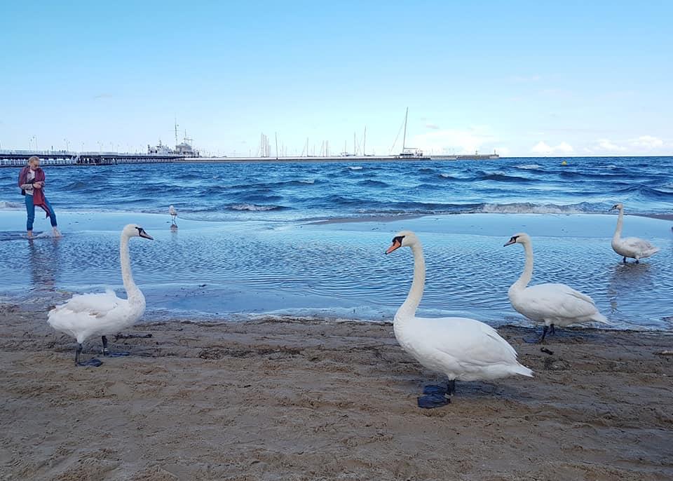 ברבורים בים הבלטי
