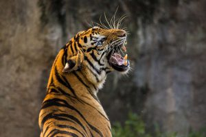 tiger-3264048_1920