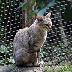 חתול בר אפריקאי
