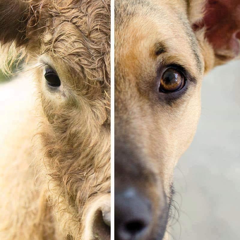 """כלב ופרה - מה ההבדל בעצם? נלקח מדף הפייסבוק של """"ויגן-פרנדלי"""""""