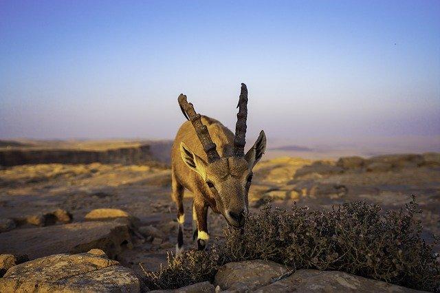 יעלים_במדבר