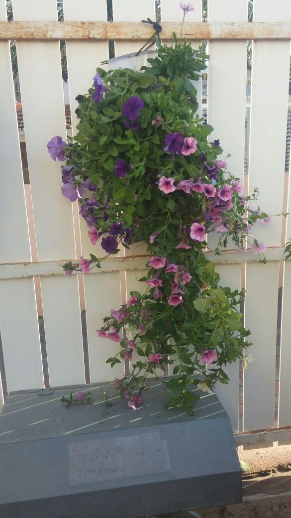 פטוניה בגינה