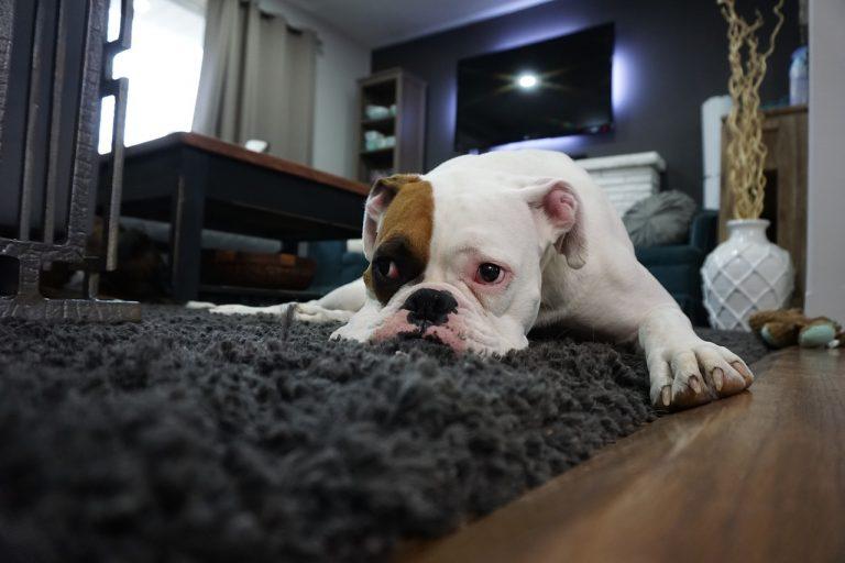 כלב שוכב