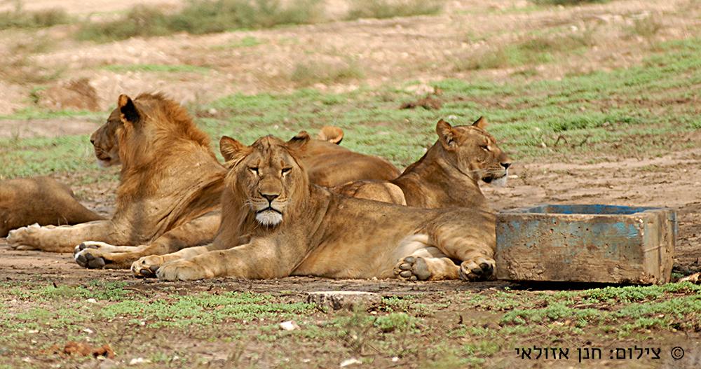 | מנוחת הלוחמות | Lionesses
