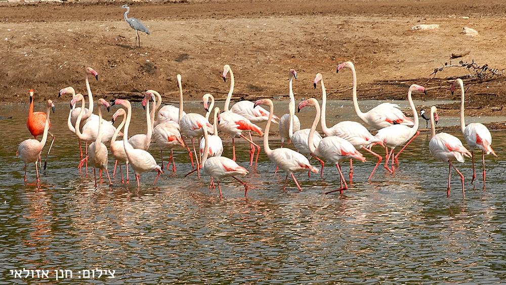 | Pretty Flamingo |