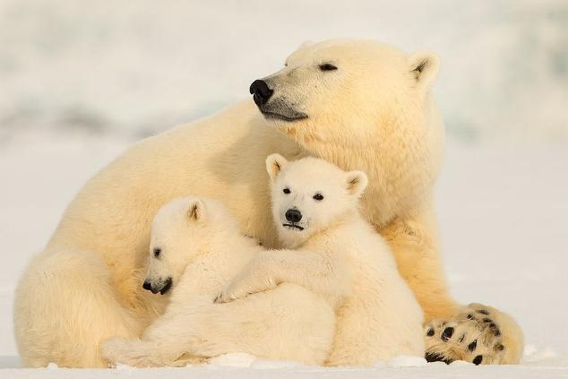 דובי הקוטב צילום רועי גליץ