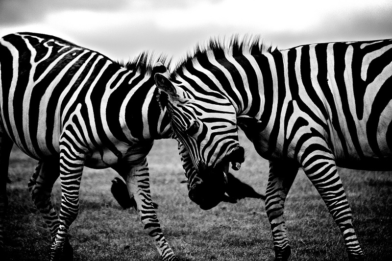 black-and-white-africa-animals-wilderness